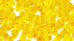 Dandelion flowers falling down on white background. Blank white at the beginning and at the end stock video footage