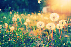 Dandelion flowers in field. Scenic view of dandelion flowers in field bathed in sunlight stock photo