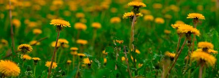 dandelion flowers field banner royalty free stock photo