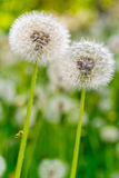 Dandelion. Flowers in a field, close-up royalty free stock images