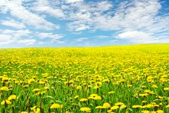 Dandelion Flowers Field Landscape, Yellow Dandelions Blossom. Over Blue Clouds Sky Background stock image