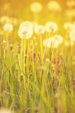 Dandelion flowers in field. Scenic view of seeded dandelion flowers in green grass Stock Images