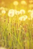 Dandelion flowers in field Stock Images