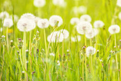 Dandelion flowers in field. Scenic view of seeded dandelion flowers in green grass Royalty Free Stock Image