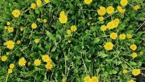 Dandelion flowers on a field. Yellow dandelion flowers on a field stock video