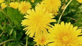 Dandelion flowers on a field. Yellow dandelion flowers on a field stock video footage