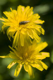 Dandelion flowers with fly Royalty Free Stock Image
