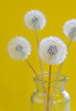 Dandelion flowers in a glass Stock Photos