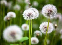 Dandelion flowers with globular heads of seeds Stock Photo