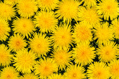 Dandelion flowers Royalty Free Stock Images