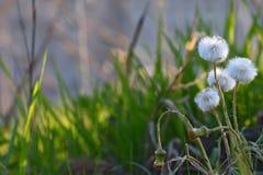 Dandelion flowers grass background Royalty Free Stock Photos