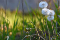 Dandelion flowers grass background Royalty Free Stock Photography