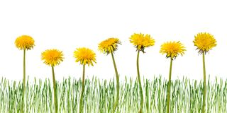 Dandelion flowers isolated. Dandelion flowers and grass isolated on a white background royalty free stock image