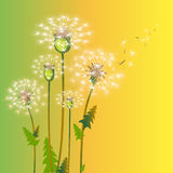 Dandelion flowers . Royalty Free Stock Image