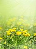 Dandelion flowers in green grass blurred Royalty Free Stock Photo