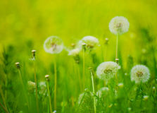 Dandelion Flowers  in a Green Meadow Royalty Free Stock Photography