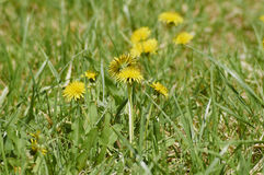 Dandelion flowers. In a green park in the spring Stock Photo