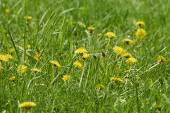 Dandelion flowers. In a green park in the spring Stock Photos