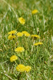 Dandelion flowers. In a green park in the spring Stock Photography