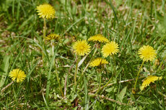 Dandelion flowers. In a green park in the spring Stock Image