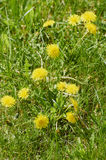 Dandelion flowers. In a green park in the spring Stock Images