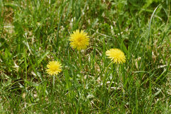 Dandelion flowers. In a green park in the spring Royalty Free Stock Images
