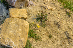 Dandelion flowers on ground background. Dandelion flowers on ground and rock background in Italian countryside Royalty Free Stock Photos