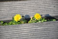 Dandelion flowers growing beetween wooden floor. In spring royalty free stock image