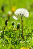 Dandelion flowers isolated on green vertical. Macro stock photography