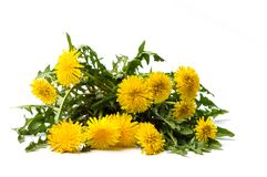 Dandelion flowers isolated on white. Background royalty free stock images