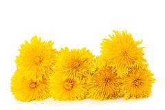 Dandelion flowers. Isolated on white background royalty free stock photo