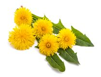 Dandelion. With flowers isolated on white background stock image