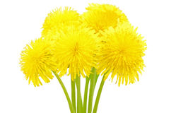 Dandelion flowers Stock Photos