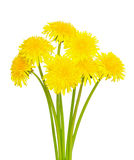 Dandelion flowers. Isolated on white background royalty free stock photography