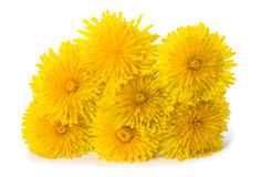 Dandelion flowers isolated. On white background royalty free stock images