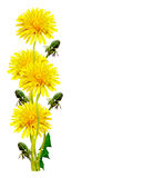 Dandelion flowers isolated on white background. Yellow flowers stock photos