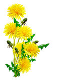 Dandelion flowers isolated on white background. Yellow flowers stock photography