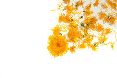 Dandelion flowers isolated on white. Dandelion flowers yellow colors with seeds lying in floral pattern isolated on white background, copy space royalty free stock image