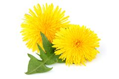 Dandelion flowers with leaf, isolated stock photo