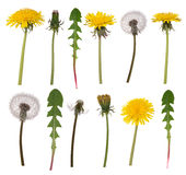 Dandelion flowers and leaves. Isolated on white background stock photos