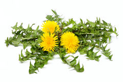 Dandelion flowers with leaves isolated. stock photography