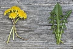 Dandelion flowers and leaves on old wooden board Royalty Free Stock Photography