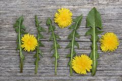Dandelion flowers and leaves on rustic wooden board Stock Image