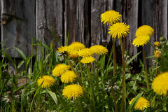 Dandelion flowers with leaves. Yellow dandelion flowers with leaves in green grass, old wood wall background, spring photo Royalty Free Stock Photos