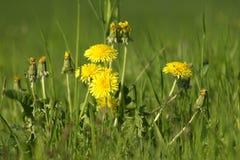 Dandelion flowers in meadow. Yellow dandelion flowers in green meadow Stock Photo