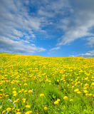 Dandelion flowers in meadow Stock Photography