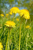 Dandelion flowers Stock Images