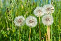 Dandelion flowers meadow grass Stock Image