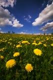 Dandelion flowers meadow Stock Photos