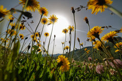Dandelion flowers on a meadow, selective focus with wide angle l Royalty Free Stock Photos